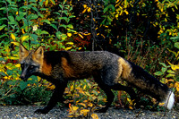 Red Fox (Cross Color Variation)