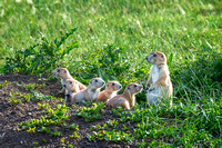 Family of Black-tailed Prairie Dogs, Wind Cave National Park, South Dakota