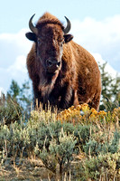 Bull Bison overlooking the herd in Yellowstone National Park