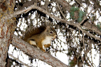 Red Squirrel in Spruce Tree