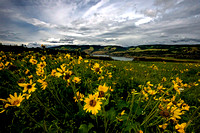 Arrowleaf Balsamroot - Columbia River Gorge