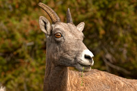 Ewe Rocky Mountain Bighorn Sheep