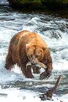 Brown Bear fishing at Brooks Falls, Katmai National Park, Alaska