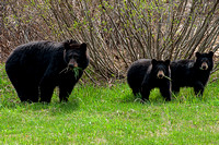 Black Bear Sow with yearling cubs, British Columbia, Canada