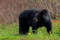 Black Bear Sow, British Columbia, Canada