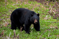 Boar Black Bear