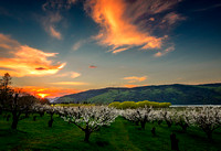 Cherry Orchard, Columbia River Gorge, Oregon