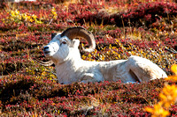 Dall Sheep Ram resting on Cathedral Mountain in Igloo Canyon, Denali National Park, Alaska