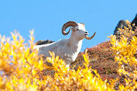 Dall Sheep Ram on Cathedral Mountain in Igloo Canyon, Denali National Park, Alaska