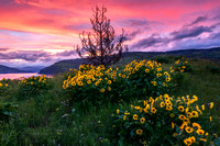 Arrowleaf Balsamroot as viewed at sunset in the Columbia River Gorge, Oregon