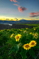Arrowleaf Balsamroot as viewed at sunset from the Tom McCall Nature Preserve, Columbia River Gorge, Oregon