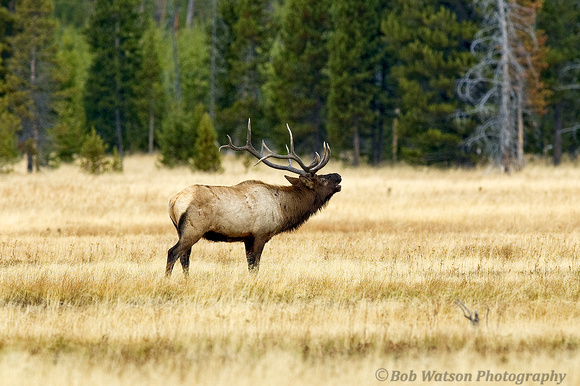 Bugling Elk, Yellowstone National Park