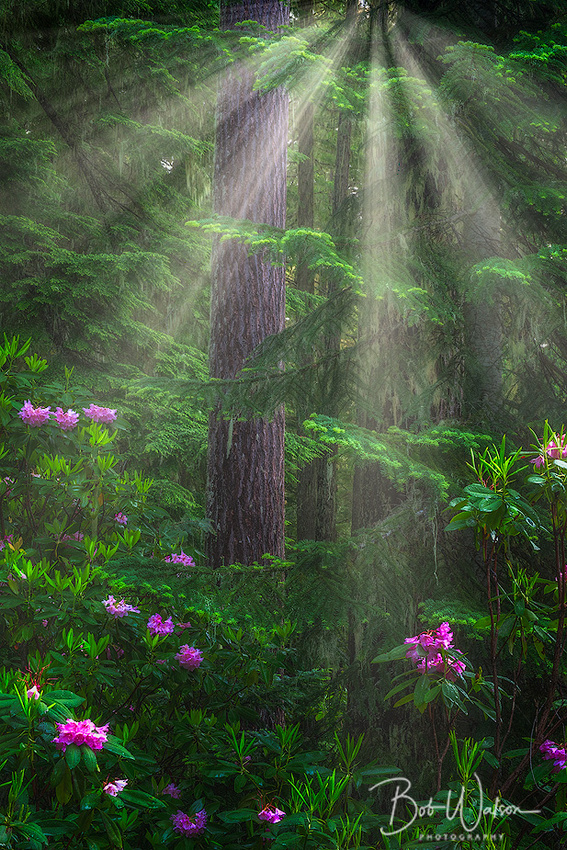 Rhododendrons, Willamette National Forest, Oregon.