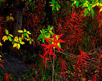 Autumn Fire Weed