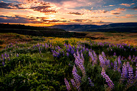 Dancing Lupines - Columbia River Gorge