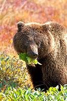 Grizzly Bear Sow grazing on a bush in Denali National Park, Alaska